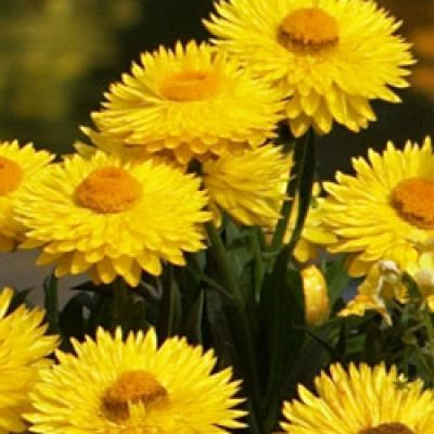 2) Strohblume 'Totally Yellow'